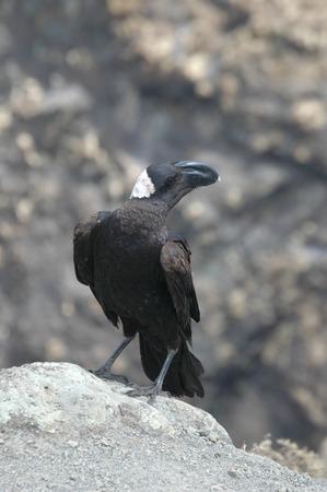 Simien Mountains Crow, Ethiopia Stock Photo