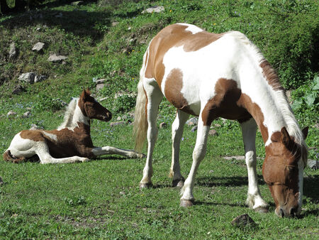 Spotted horse and a foal graze on the mountain meadow