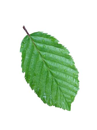 wet leaf: Close-up wet leaf isolated on white background