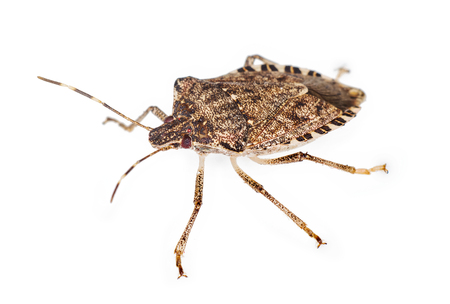 stink bug isolated over white