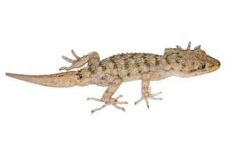 small lizard isolated on white