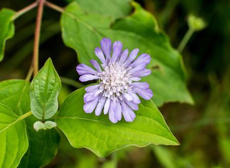 Field Scabious Knautia arvensis close-up