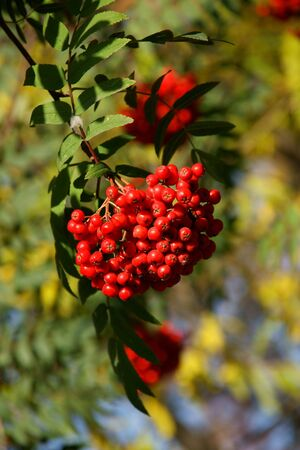 rowanberry: red berries of rowanberry on background sheets Stock Photo