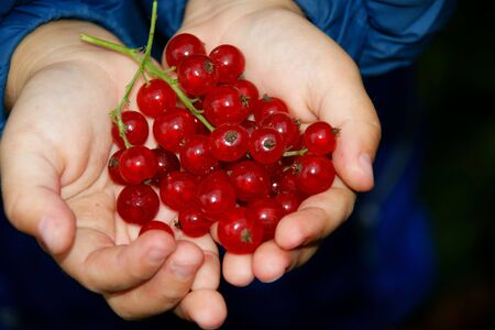 child with hands by pervaded berry of the red currant