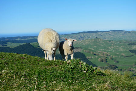 Lamb with her mother grazing in a high meadow. Ocean and blue sky in the distance
