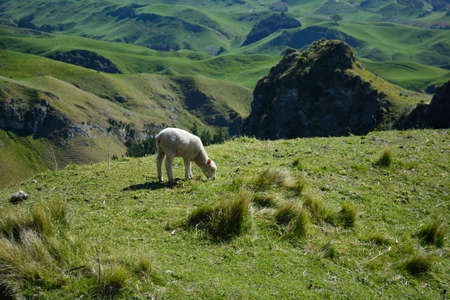 Lamb grazing in a high meadow. Rolling hills