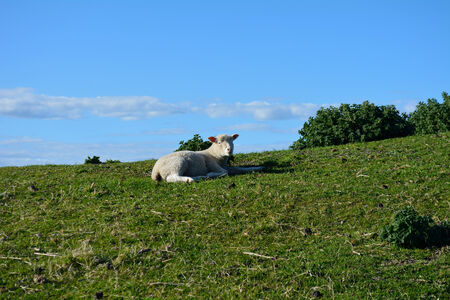 Lamb laying down in a high meadow. Hawkes Bay New Zealand Stockfoto