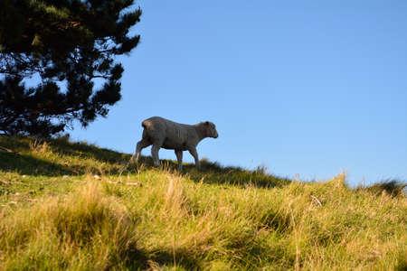 Lamb grazing on golden hill Stock Photo