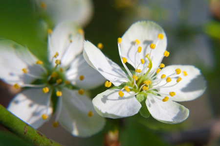 yellow stamens: Two white plum blossom with yellow stamens
