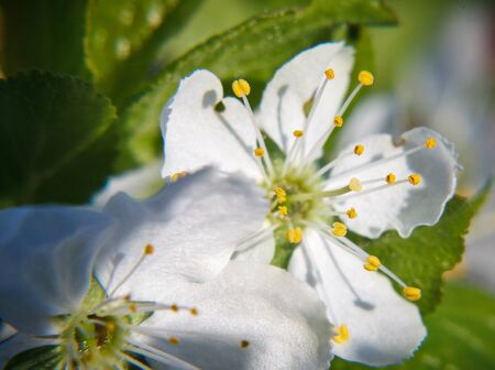 yellow stamens: Two white plum blossoms with yellow stamens