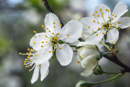 yellow stamens: Three white plum blossoms with yellow stamens and three plum buds on a branch