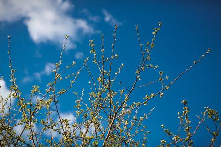 luz natural: ramas de árboles de manzana con los prospectos jovenes en un fondo de cielo azul Foto de archivo