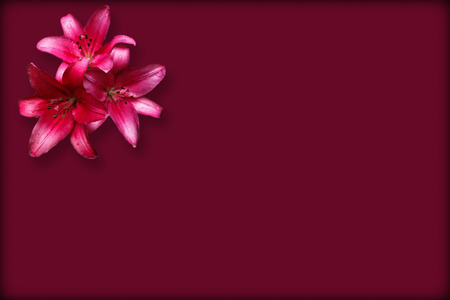 claret: Three isolate red lilies on the claret background with thin dark border Stock Photo