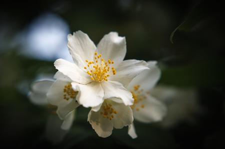 philadelphus: White flowers and green leaves of jasmine (Philadelphus)