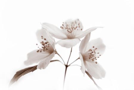 philadelphus: Three white blossoms and leaves of jasmine (Philadelphus) on a white background (monochrome, toned)