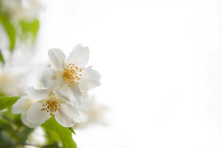 philadelphus: Two white blossoms and green leaves of jasmine (Philadelphus) on a white background