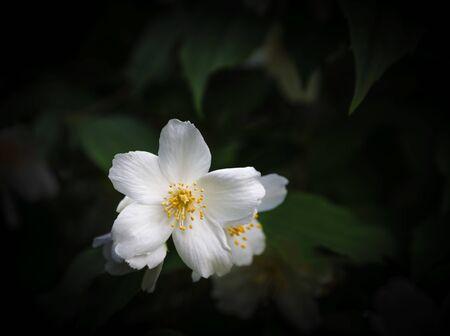 philadelphus: White flower and green leaves of jasmine (Philadelphus) Stock Photo
