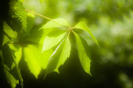 rosids: Green leaves of Virginia creeper  (Parthenocissus quinquefolia) in sunlight (glow effect)