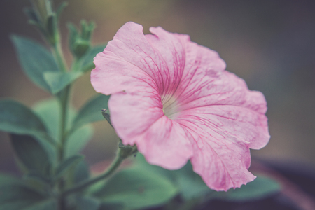 styled: Pink flower and green leaves of Petunia. Retro styled.