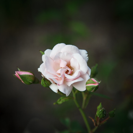 Beautiful pink rose on a dark background Stock Photo