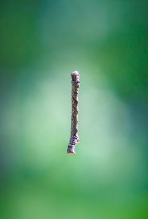 similar: Caterpillar similar to twig hanging on the web in the air (colored photo) Stock Photo
