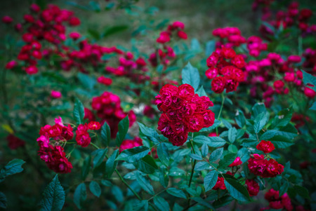 Shrub of the beautiful red Rosa polyantha