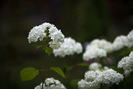 cultivator: White inflorescence of Smooth Hydrangea (Hydrangea arborescens) Stock Photo