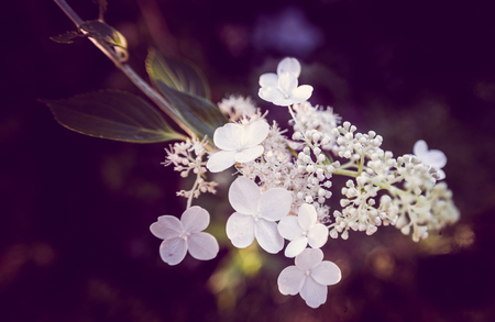 White blossoms on a inflorescence of Hydrangea bretschneideri