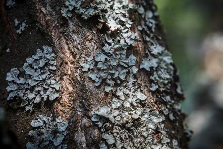 sulcata: Lichen on the apple tree bark (parmelia sulcata) Stock Photo
