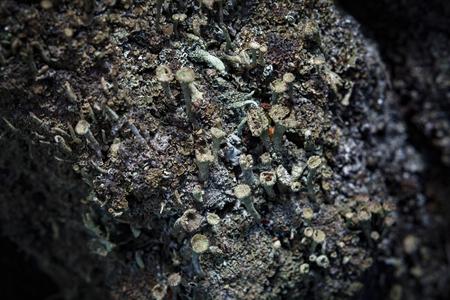 lichen: Beautiful lichen (Cladonia) on the birch bark Stock Photo