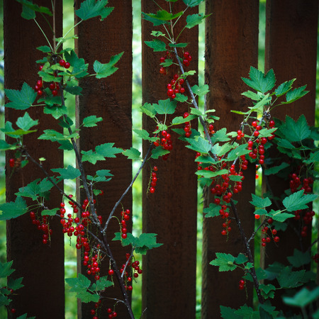 Bush of red currant near the brown wooden fence. Red berries and green leaves. Stock Photo
