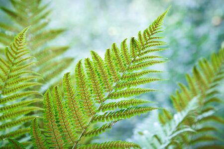 spores: Beautiful fern leaves with spores Stock Photo