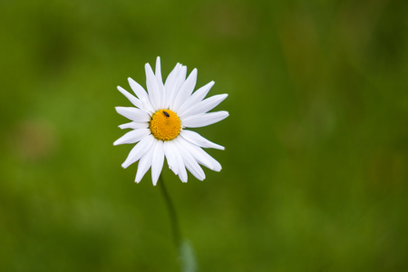 White daisy and a little beetle. Natural green blurred background.