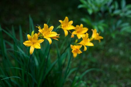 Yellow daylilies. Hemerocallis lilioasphodelus. Natural blurred dark green background.