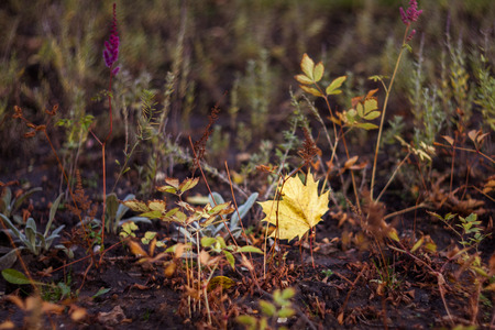 Little yellow maple leaf is on the ground between withered grass. Autumn.