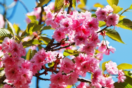 Wallpaper - pink cherry blossoms against the blue sky photo