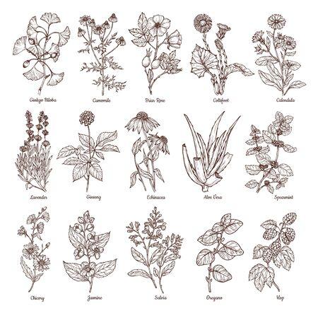 sketch medicinal herbs Ilustracja