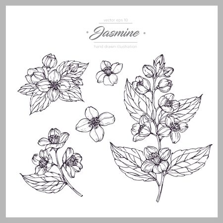 Hand drawn botanical illustration of jasmine. Vintage collection of medical herbs and plants. Vector hand-drawn sketch for cosmetics, labels, packages and textiles. Vektorgrafik