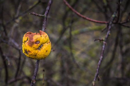 Apple tree without leaves and with fruit in winter. Seasonal natural scene. Stock Photo