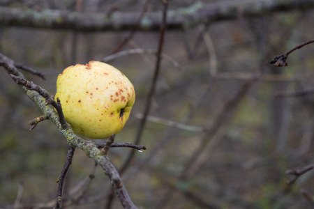 Apple tree without leaves and with fruit in winter. Seasonal natural scene. Banco de Imagens
