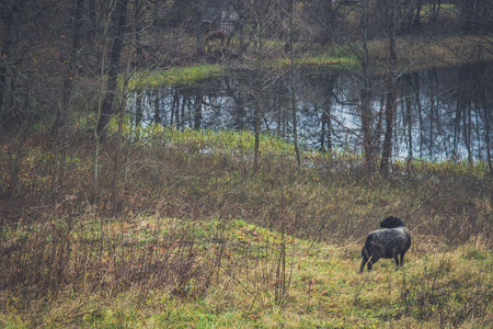 A black sheep on a meadow in the fall on a cloudy day. Banco de Imagens
