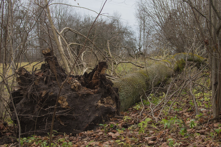 A fallen tree is rotting in the middle of the forest. Imagens - 106297704