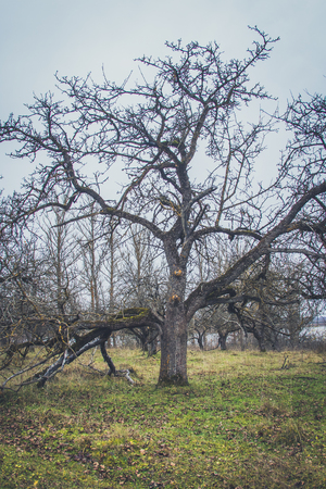 Old apple trees in autumn. Without leaves and fruits.