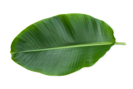 Fresh green banana leaf isolated on white background with clipping path.