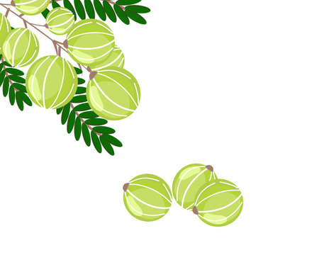 Branch of Indian gooseberry fruits ( Amla, phyllanthus emblica ) with green leaf isolated on white background. Vector illustration.