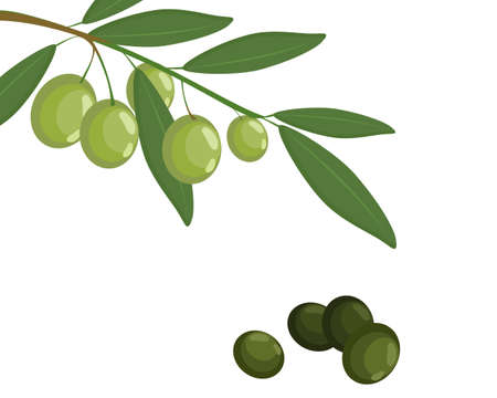 Bunch of olive fruit with green leaf on white background. Icon vector illustration. 일러스트