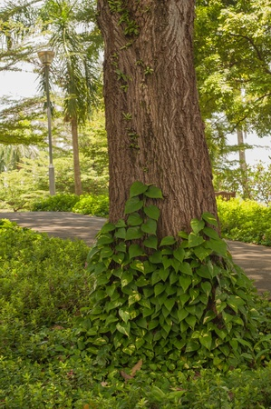symbiosis: Dense creepers on tree - Symbiosis - Abstract Concept Stock Photo