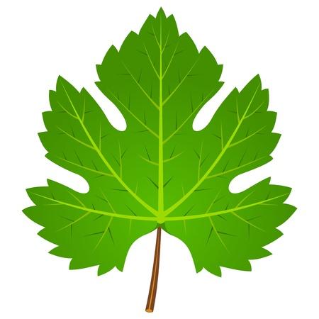 wine growing: Green Wine Leaf Illustration