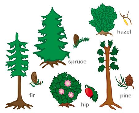 enebro: Las coníferas y arbustos