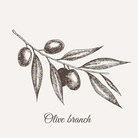 Vector hand drawn sketch of olive tree branch. Vector illustration. EPS 10